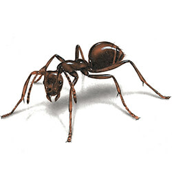 Illustration of an ant