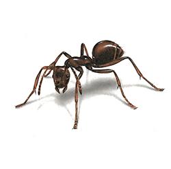 Noir fourmis sexe