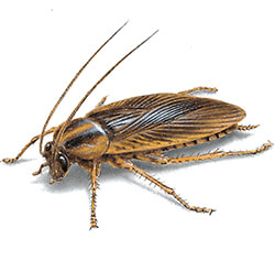 illustration of a German cockroach