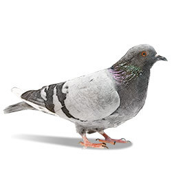 illustration d'un pigeon