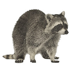 Illustration of a raccoon