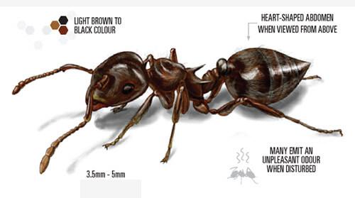 Labelled illustration of acrobat ant