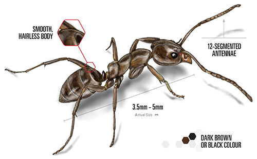 labelled illustration of a argentine ant