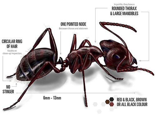 labelled illustration of a carpenter ant