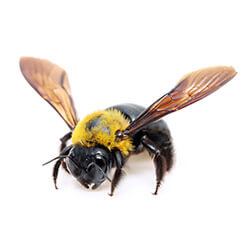 Carpenter bee close up white backround