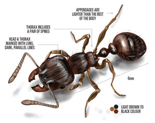 Labelled illustration of pavement ant