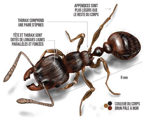 Illustration d'une fourmi des pavés