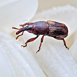 Weevil close up photo