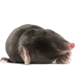 Mole isolated image
