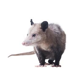 Opossum on white background