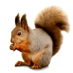 Squirrel image on isolated background