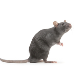 Rat Image on white background