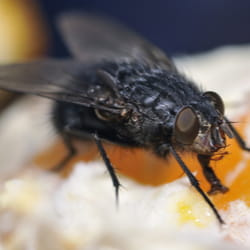 Black fly landing on a dinner plate