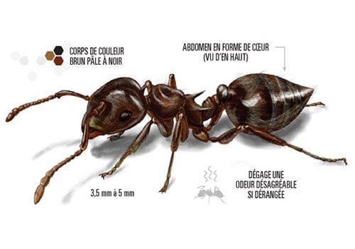 Illustration d'une fourmi acrobate