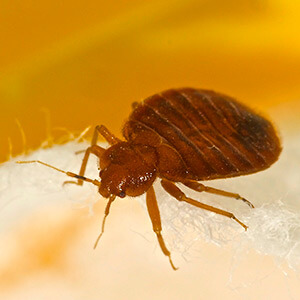 close up view of a bed bug