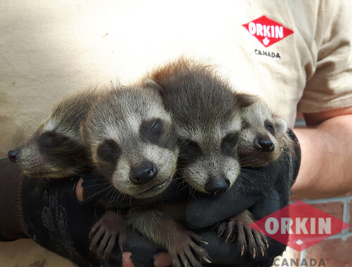 close up of a family of adolescent raccoons in an orkin technician's hands