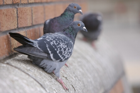 Rock pigeon roosting on a ledge