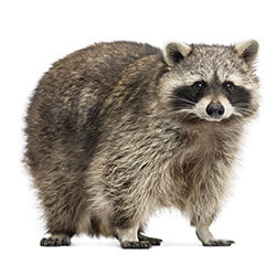 Raccoon illustration