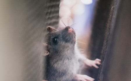 gray mouse in wall