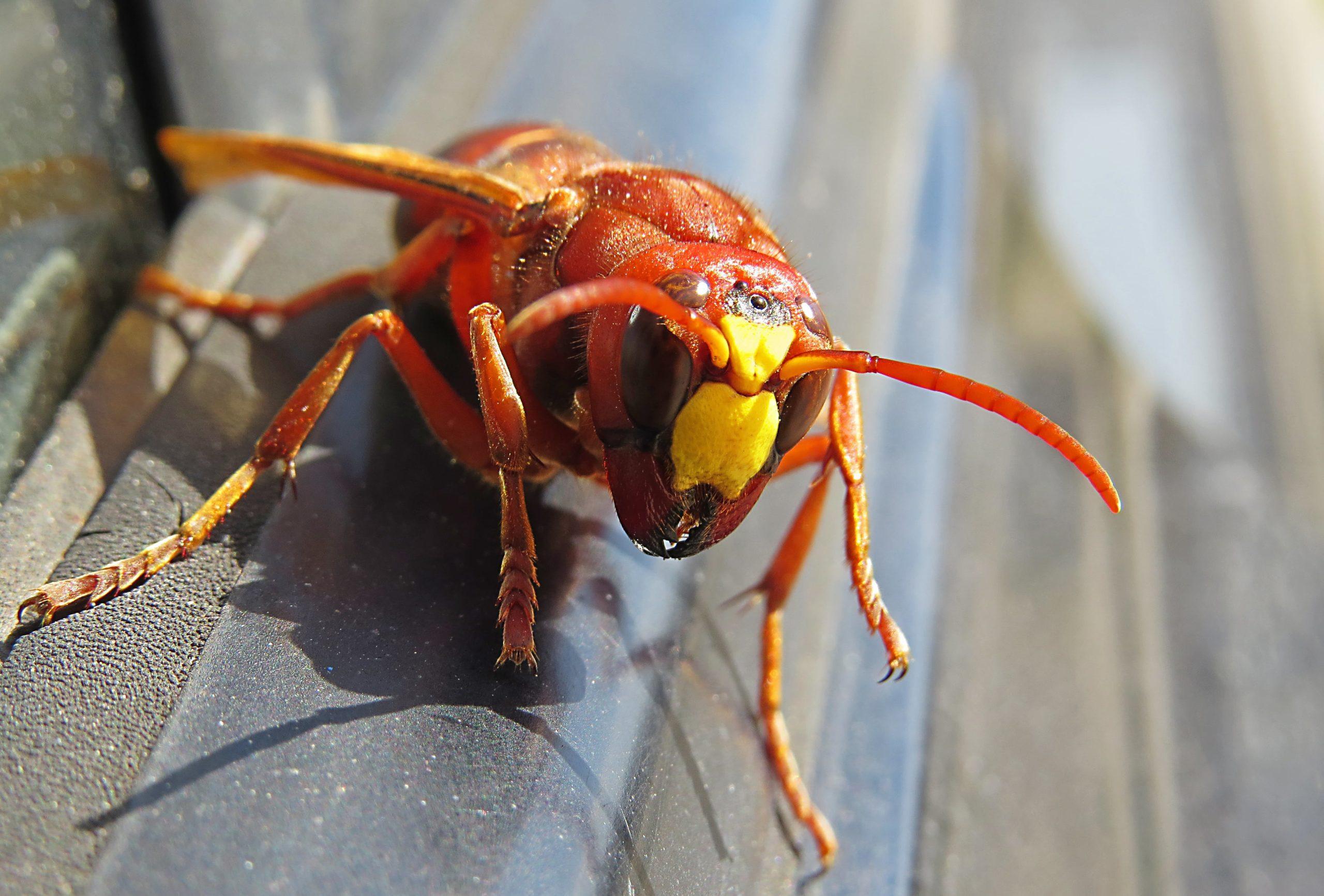 Asian Giant Hornet On a car door