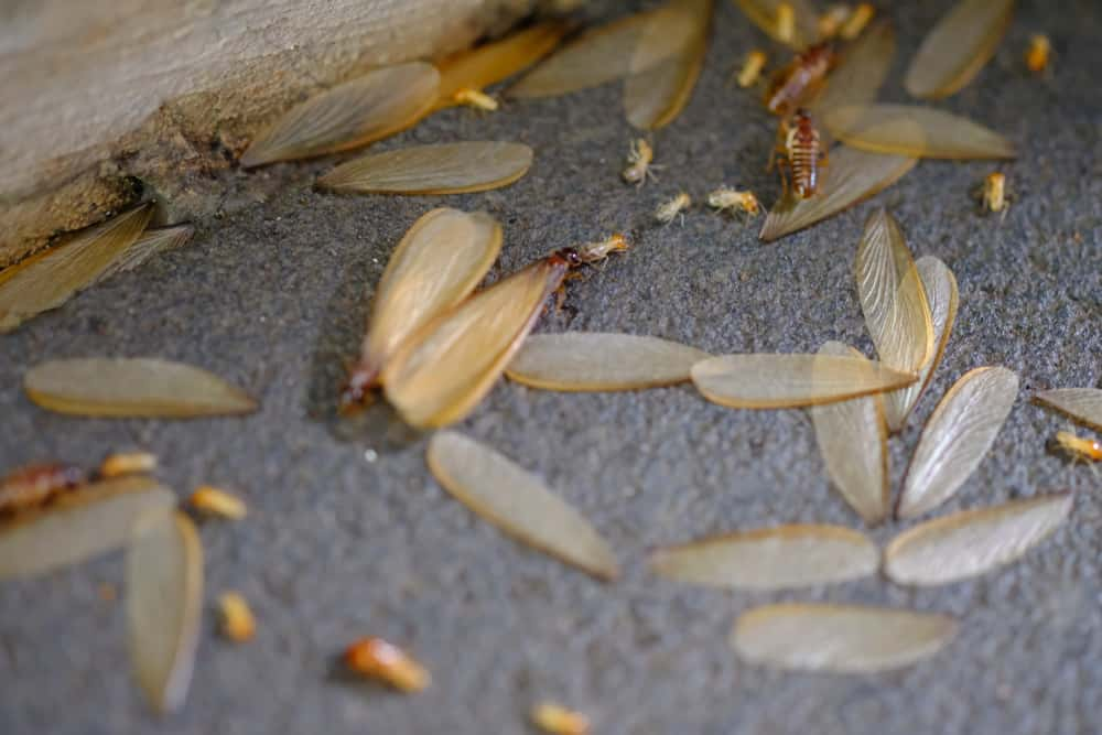 discarded termite wings